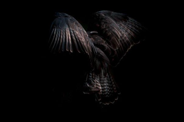 Buzzard Feathers
