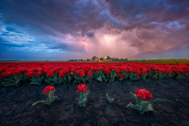 Thunder Tulips
