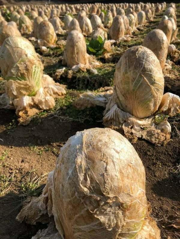 Cabbage Fields. It Looks Like A Field Of Alien Eggs And I Hate It