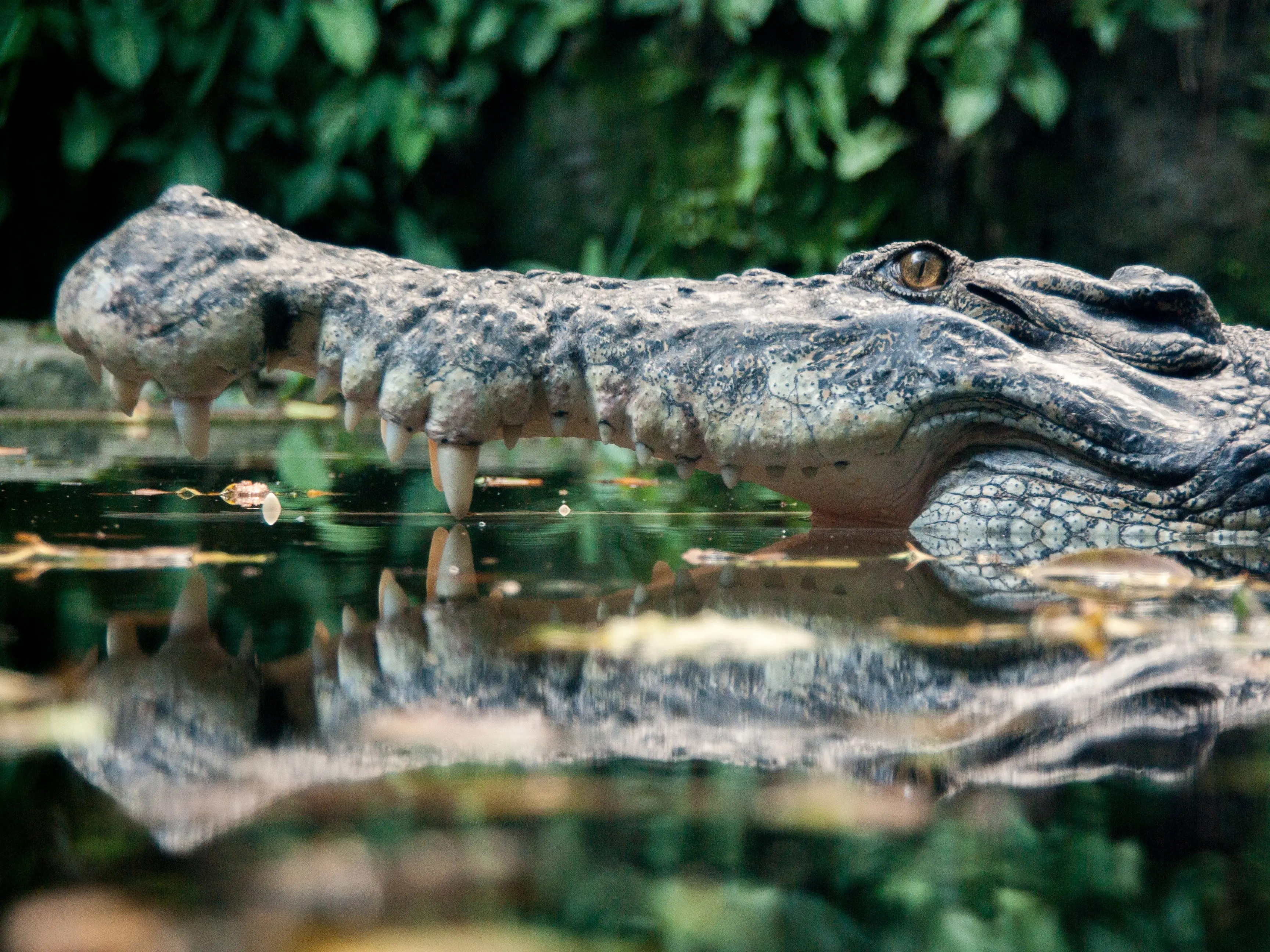 Here S Why Crocodiles Are 100 Times Deadlier Than Sharks
