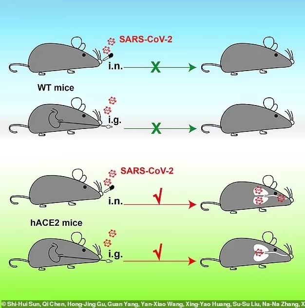China criou ratos com pulmões humanos para testar vírus Sars