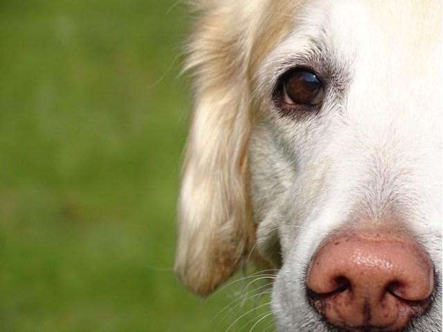 dog-nose-portrait-snout-golden-retriever-pet.jpg