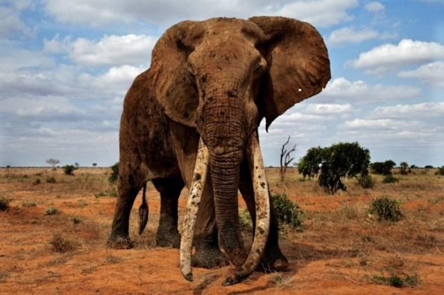 Murembo-Great-Tusker-Elephant-777x516.jpg