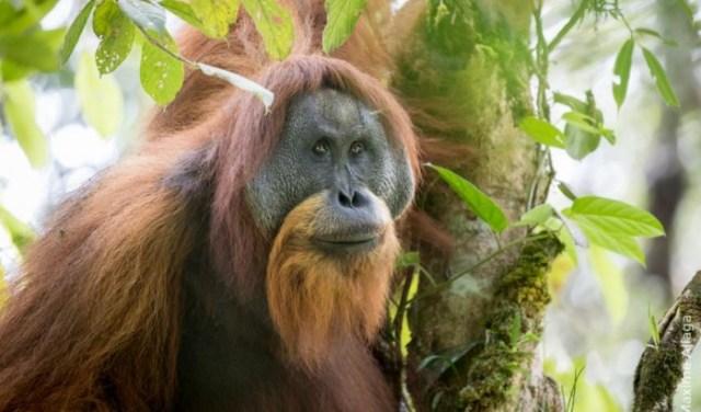 adult_male_tapanuli_orangutan_male_maxime_aliaga.jpg