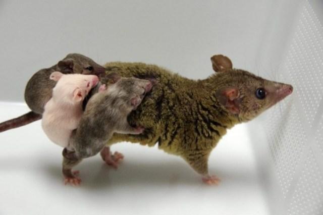 Genetically-Engineered-Opossums-777x518.jpg