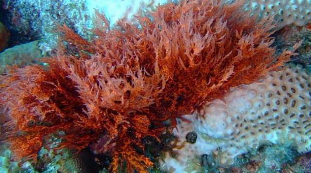 800px-Red_Algae_on_bleached_coral.jpg