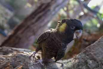 Loro Parque exhibe, por primera vez, todas las especies de cacatúas del mundo