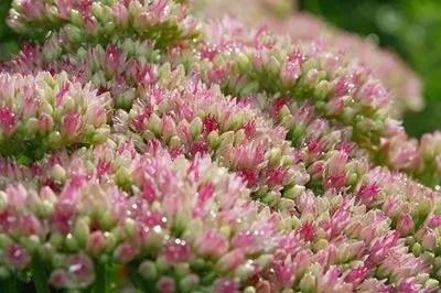 buis viburnum tinus 5 plantes