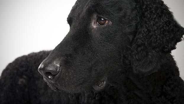 Curly Coated Retriever Dog Breed Selector Animal Planet
