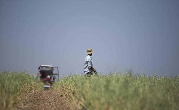 A farmer in a La Mancha field planted with garlic.