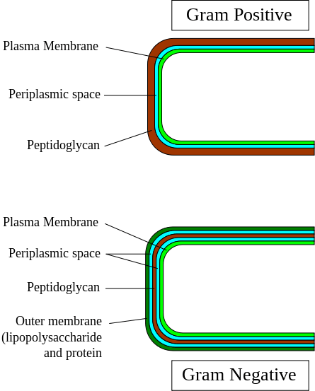 Image:cell-wall-gram-bacteria.png