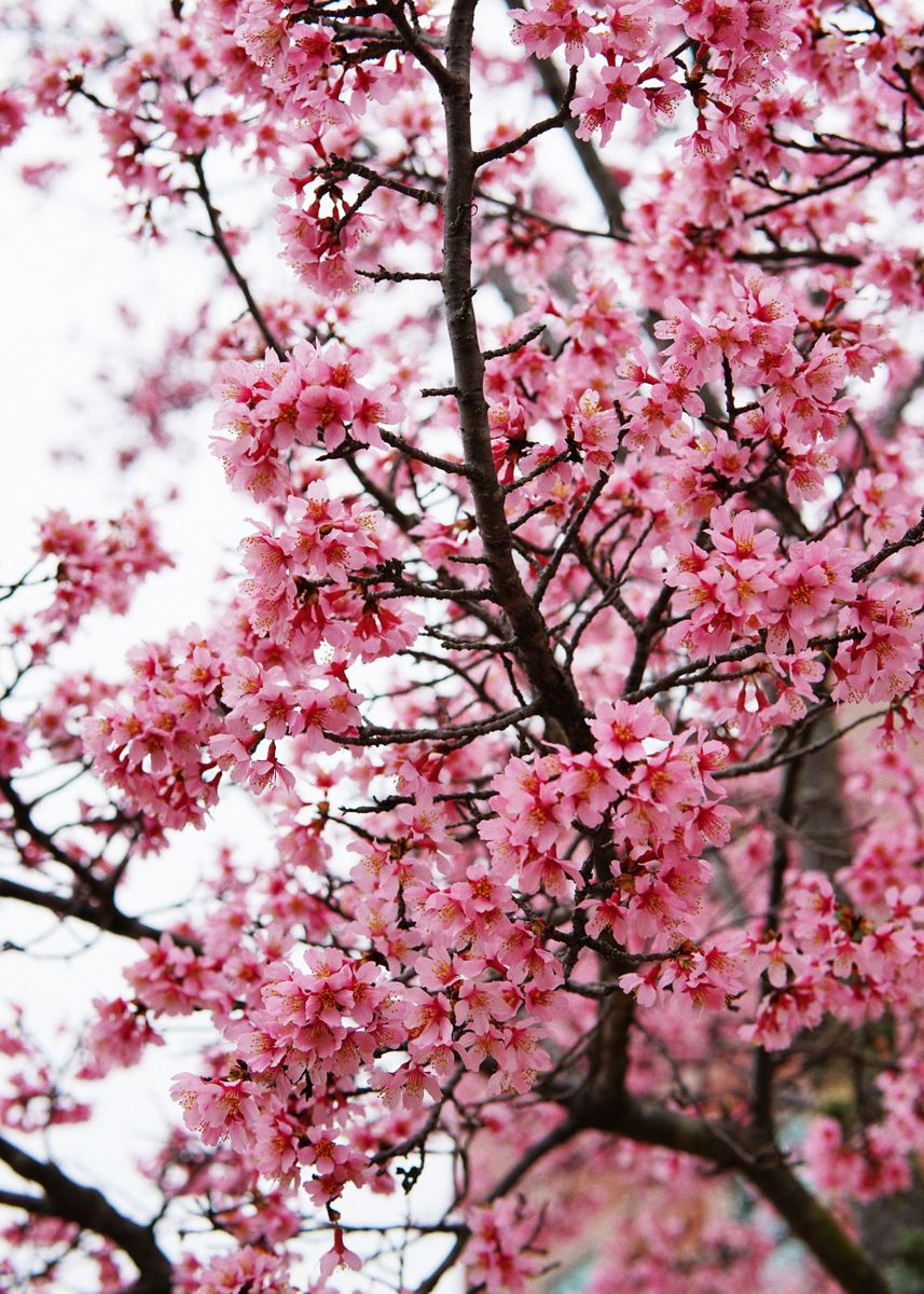 charming cherry blossoms