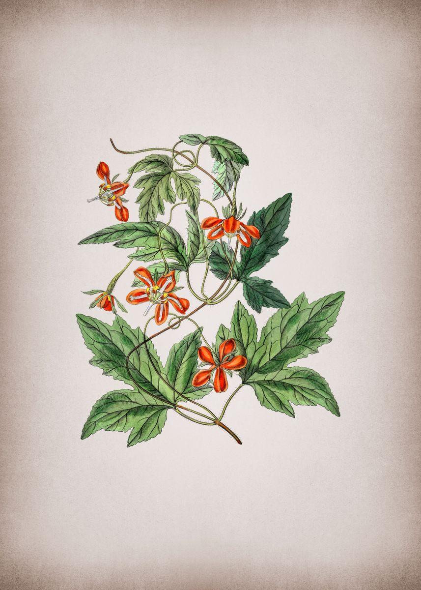 vintage red loasa flower