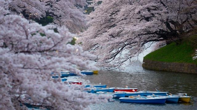 Blooming cherry blossom trees at Chidorigafuchi in Tokyo