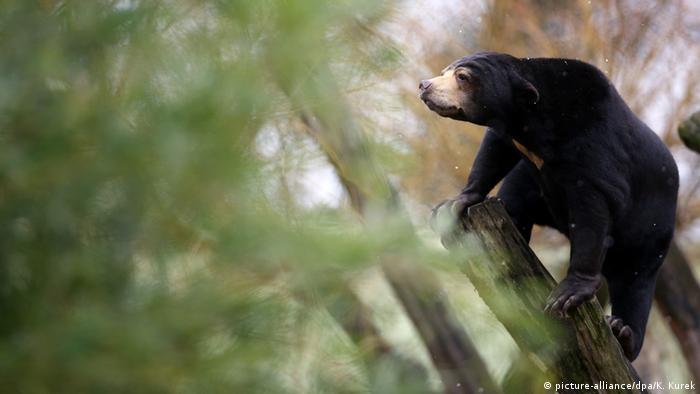 Малайский медведь в Мюнстерском зоопарке