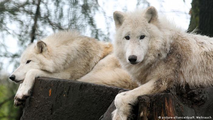 Волки в Дуйсбургском зоопарке