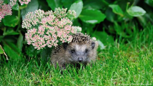 A hedgehog peers out from beneath some flowers in the grass.