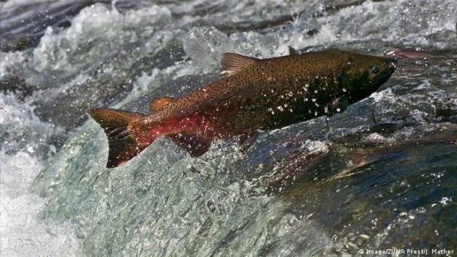 A salmon swimming upstream