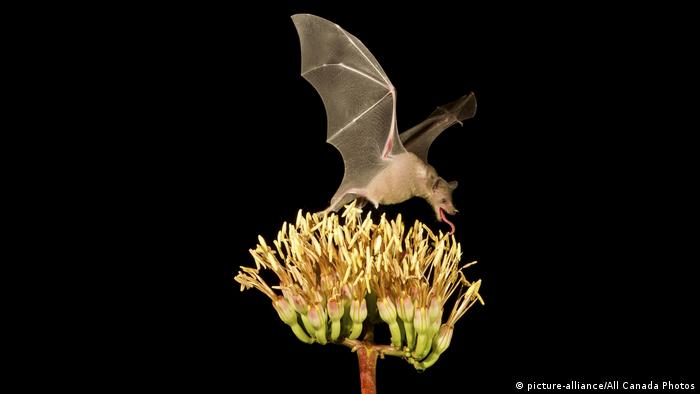 Long-nosed bat feeds on a plant