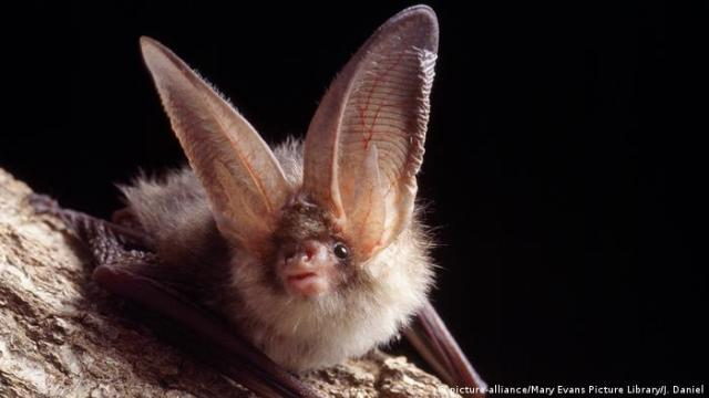 A close up of the brown, long-eared bat perched on a branch