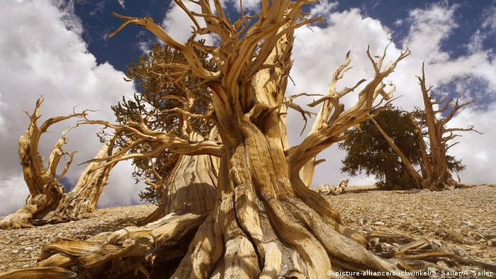 A bristlecone pine in California's White Mountains