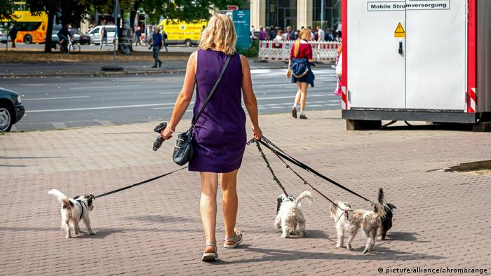A woman walks several dogs on long leashes