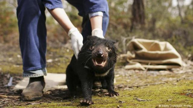 A Tasmanian Devil is released