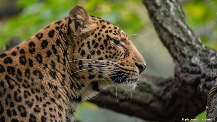 Северо-китайский леопард Бум-и в Гамбургском зоопарке