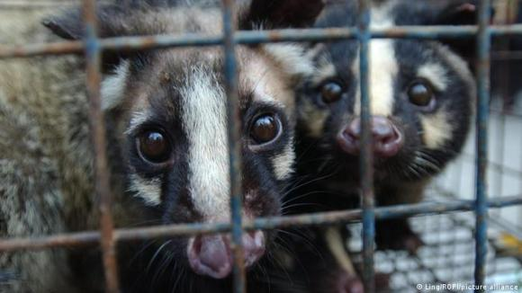 Civets in a cage in Guangdong Provice, China