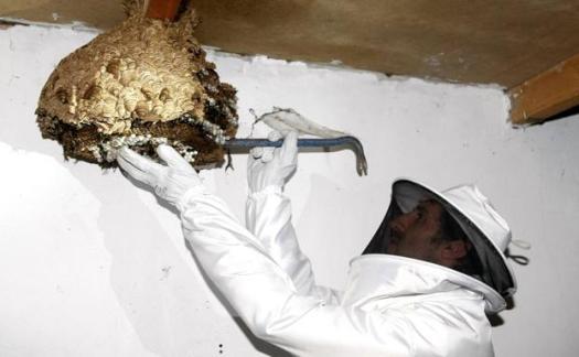 Retirada de un nido de avispa asiática/Luis Palomeque