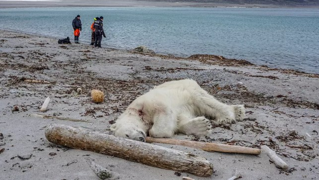 Polar bear killed after attack on Arctic cruise ship guard