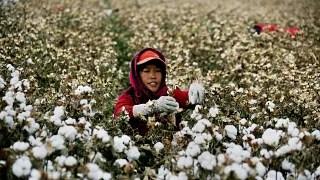 Çin'in Sincan eyaletindeki pamuk tarlaları