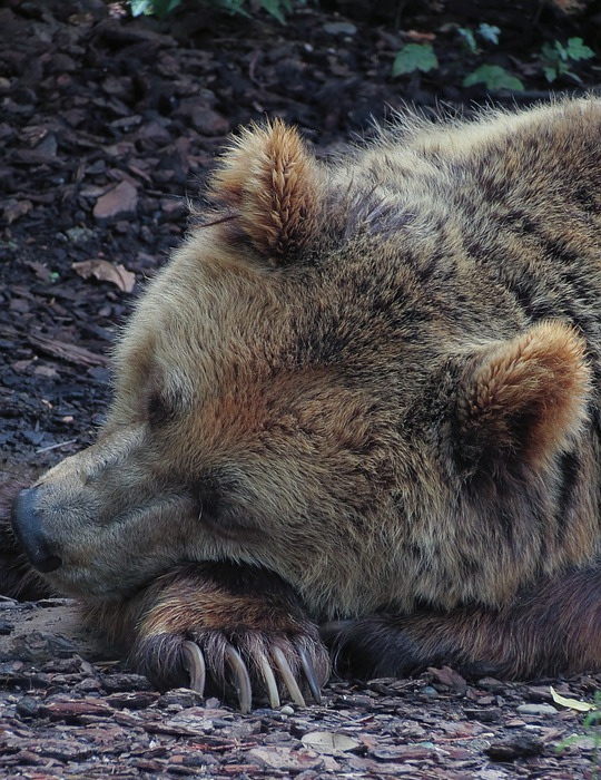 bear, sleeping bear, hibernating