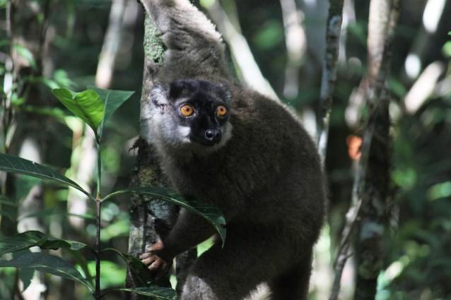 Lemuri, accerchiati da caccia e deforestazione.