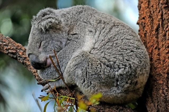 Il segreto per stare freschi? Ce lo svela il koala.