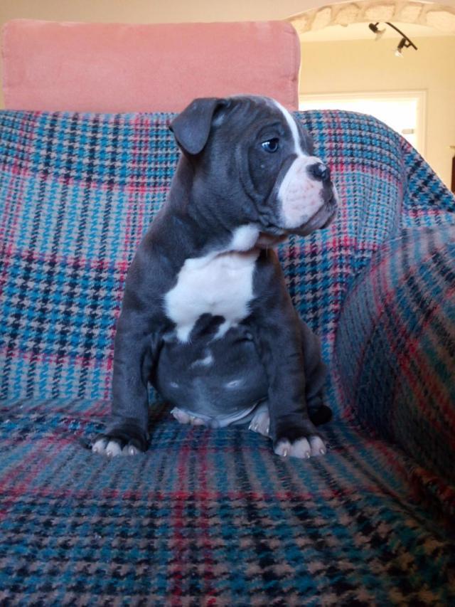 american bulldog welpen blueline ,champagner - 913895