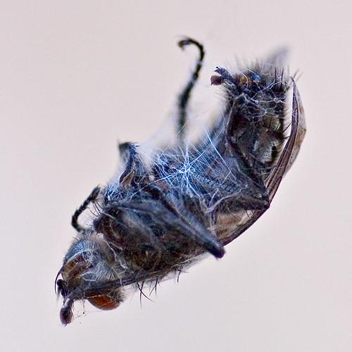 Blauwe vleesvlieg