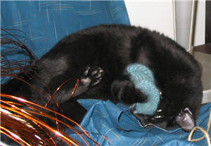 Black kitten fighting with a knitting sample - Chatton se bagarrant avec un échantillon de tricot