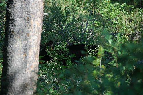 Grand Teton - Black Bear on Signal Mountain