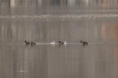 ducks on the lake!
