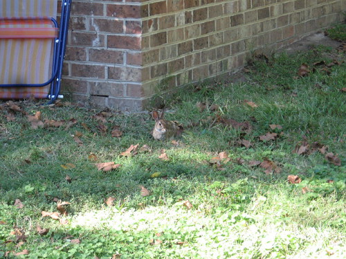 bunny in my yard #2