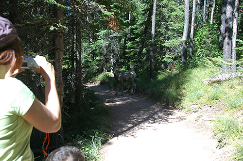 Waterton Lake - Sheep on path