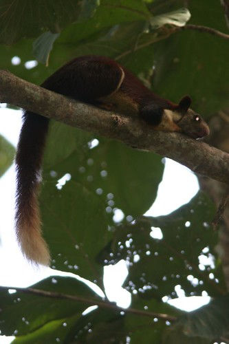IMG_0400 Malabar Giant Squirrel