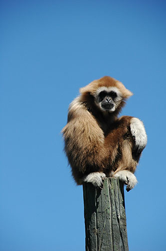 Gibbon on a pole
