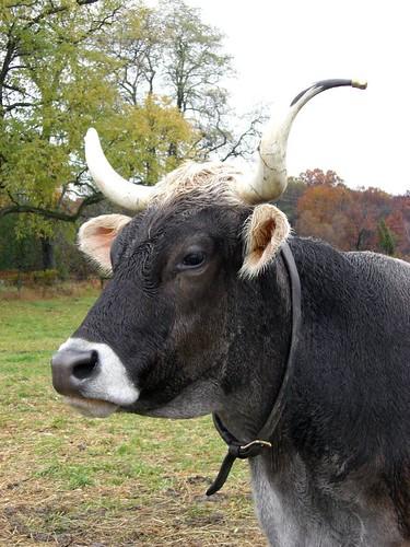 Shaker Oxen