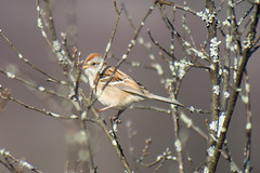 Am Tree Sparrow with sticks in the way!