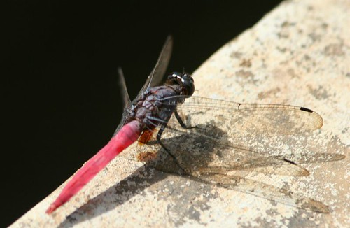 IMG_0392 Red-tailed dragonfly
