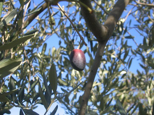 The Olive that Escaped
