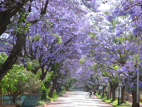 More incredible Jacarandas