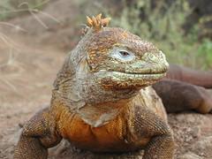 Galapagos Land Iguana (by ChrisIrmo)